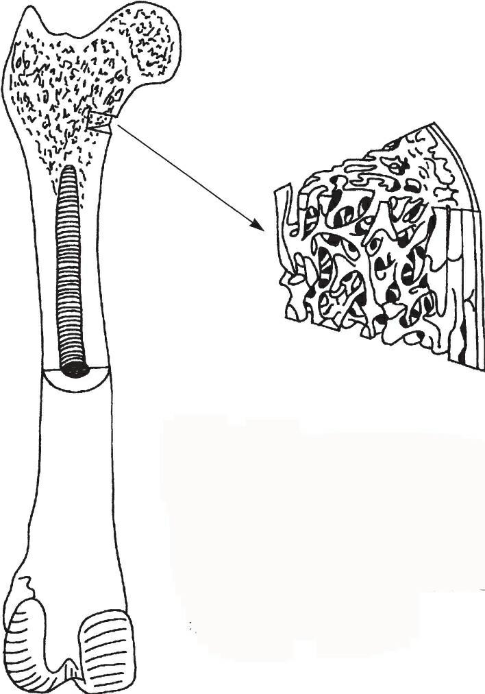 股骨的切面图