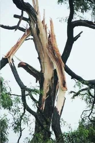 被雷电劈开的树